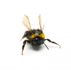 angry bumblebee- Stock Photo or Stock Video of rcfotostock | RC-Photo-Stock
