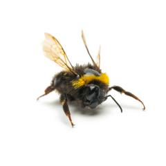big bumblebee on white : Stock Photo or Stock Video Download rcfotostock photos, images and assets rcfotostock | RC-Photo-Stock.: