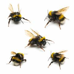 bumblebee set  : Stock Photo or Stock Video Download rcfotostock photos, images and assets rcfotostock | RC-Photo-Stock.: