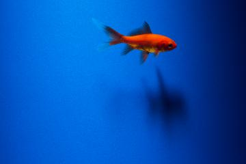 A goldfish on blue  : Stock Photo or Stock Video Download rcfotostock photos, images and assets rcfotostock | RC-Photo-Stock.: