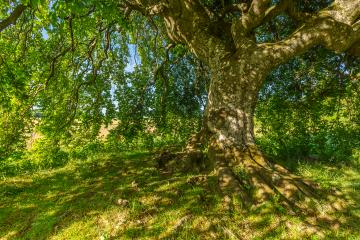 a old old Dwarf Beech - Stock Photo or Stock Video of rcfotostock | RC-Photo-Stock