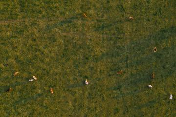 Aerial view of cows herd grazing on pasture field, top view drone shot- Stock Photo or Stock Video of rcfotostock | RC-Photo-Stock