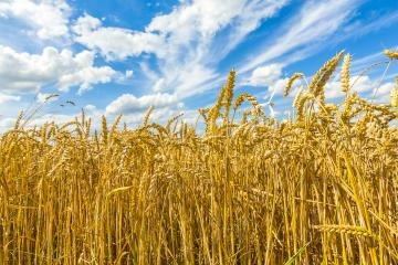agriculture cornfield with blue cloudy sky in summer : Stock Photo or Stock Video Download rcfotostock photos, images and assets rcfotostock | RC-Photo-Stock.: