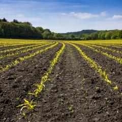 Agriculture shot: rows of young corn plants growing on a vast field with dark fertile soil leading to the horizon- Stock Photo or Stock Video of rcfotostock | RC-Photo-Stock