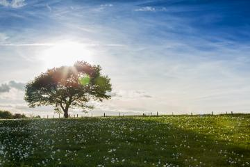 alone old oak tree on a hill with dandelion meadow on sunset and Blue Sky at spring in the Eifel natonal park- Stock Photo or Stock Video of rcfotostock | RC-Photo-Stock