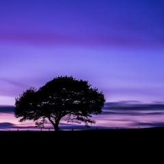 Alone Old oak tree on colorful purple sunset at blue hour in summer at the Eifel national park in germany- Stock Photo or Stock Video of rcfotostock | RC-Photo-Stock