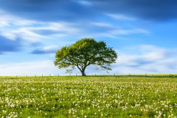 Alone Old oak tree on dandelion meadow with Blue cloudy Sky at spring in the Eifel germany- Stock Photo or Stock Video of rcfotostock | RC-Photo-Stock