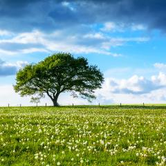 Alone Old oak tree on dandelion meadow with Blue cloudy Sky at summer in the Eifel germany : Stock Photo or Stock Video Download rcfotostock photos, images and assets rcfotostock | RC-Photo-Stock.: