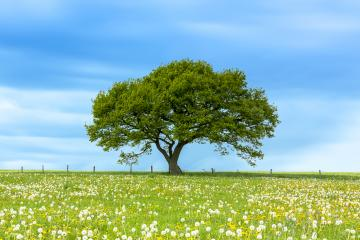 Alone tree on meadow with Blue Cloudy Sky in summer in the Eifel  : Stock Photo or Stock Video Download rcfotostock photos, images and assets rcfotostock | RC-Photo-Stock.: