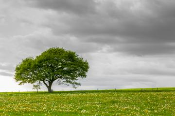 Alone tree on meadow with gray dramatically decrease Cloudy Sky in sping  : Stock Photo or Stock Video Download rcfotostock photos, images and assets rcfotostock | RC-Photo-Stock.: