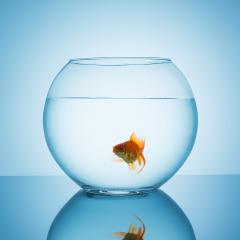 amazed goldfish swims in a fishbowl : Stock Photo or Stock Video Download rcfotostock photos, images and assets rcfotostock | RC-Photo-Stock.: