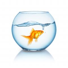amazed looking goldfish in a fishbowl : Stock Photo or Stock Video Download rcfotostock photos, images and assets rcfotostock | RC-Photo-Stock.: