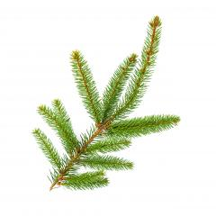 Amazing fir branch for Christmas isolated on white : Stock Photo or Stock Video Download rcfotostock photos, images and assets rcfotostock | RC-Photo-Stock.: