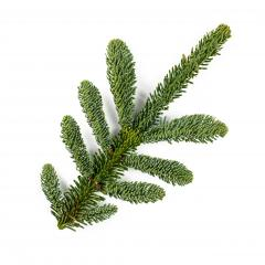 Amazing Nobilis fir branch for decoration, isolated on white- Stock Photo or Stock Video of rcfotostock | RC-Photo-Stock