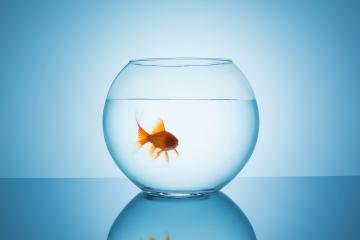 angry goldfish in a fishbowl glass : Stock Photo or Stock Video Download rcfotostock photos, images and assets rcfotostock | RC-Photo-Stock.: