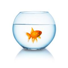 angry looking goldfish in a fishbowl : Stock Photo or Stock Video Download rcfotostock photos, images and assets rcfotostock | RC-Photo-Stock.: