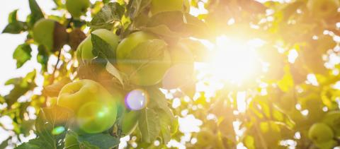 apples on apple tree branch, bright rays of the sun, copyspace for your individual text, banner size : Stock Photo or Stock Video Download rcfotostock photos, images and assets rcfotostock | RC-Photo-Stock.: