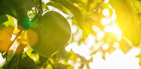 apples on apple tree branch, copyspace for your individual text, banner size- Stock Photo or Stock Video of rcfotostock | RC-Photo-Stock