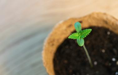 Baby cannabis plant. Vegetative stage of marijuana growing. copyspace for your individual text.- Stock Photo or Stock Video of rcfotostock | RC-Photo-Stock