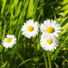 background with daisies and fresh green grass- Stock Photo or Stock Video of rcfotostock   RC-Photo-Stock