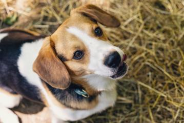 beagle dog sitting on the ground- Stock Photo or Stock Video of rcfotostock   RC-Photo-Stock