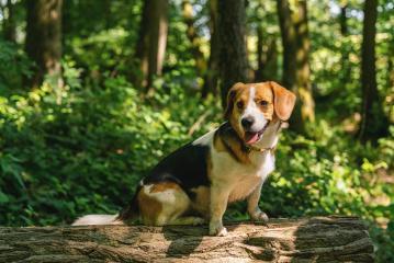 Beagle dogs, portrait- Stock Photo or Stock Video of rcfotostock | RC-Photo-Stock
