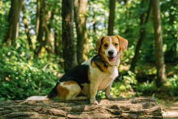 Beautiful Beagle dog sitting on a tree trunk- Stock Photo or Stock Video of rcfotostock | RC-Photo-Stock