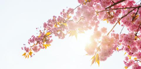 Beautiful cherry blossom in spring time over blue sky and sunlight sky with copy space- Stock Photo or Stock Video of rcfotostock | RC-Photo-Stock