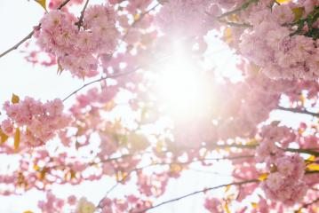 Beautiful cherry blossom sakura in spring time over blue sky- Stock Photo or Stock Video of rcfotostock | RC-Photo-Stock