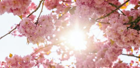 Beautiful cherry blossom with sunlight in spring time over blue sky- Stock Photo or Stock Video of rcfotostock | RC-Photo-Stock