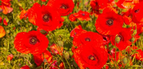 Beautiful field of red poppies : Stock Photo or Stock Video Download rcfotostock photos, images and assets rcfotostock | RC-Photo-Stock.: