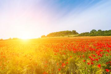 Beautiful field of red poppies in the sunset light.  : Stock Photo or Stock Video Download rcfotostock photos, images and assets rcfotostock | RC-Photo-Stock.: