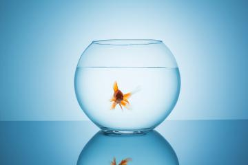 beautiful goldfish in a fishbowl : Stock Photo or Stock Video Download rcfotostock photos, images and assets rcfotostock | RC-Photo-Stock.: