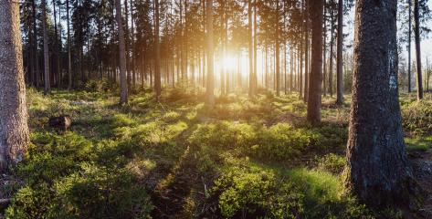 beautiful green forest sunset panroama : Stock Photo or Stock Video Download rcfotostock photos, images and assets rcfotostock | RC-Photo-Stock.: