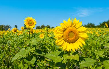 Beautiful landscape with sunflower field - Stock Photo or Stock Video of rcfotostock | RC-Photo-Stock