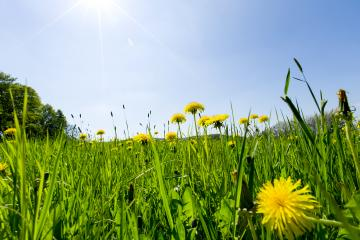 Beautiful nature in the village. Blue sky with white clouds, green grass, yellow field of dandelions and rapeseed. : Stock Photo or Stock Video Download rcfotostock photos, images and assets rcfotostock | RC-Photo-Stock.: