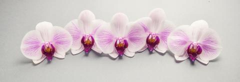 Beautiful Orchid Flowers in a row- Stock Photo or Stock Video of rcfotostock | RC-Photo-Stock