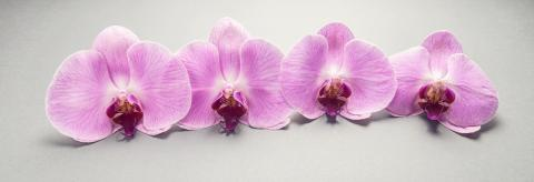 Beautiful pink orchid flower in a row- Stock Photo or Stock Video of rcfotostock | RC-Photo-Stock