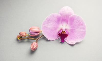 Beautiful pink orchid flower with buds- Stock Photo or Stock Video of rcfotostock | RC-Photo-Stock