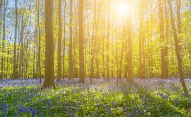 Beautiful sunset behind trees with bluebells- Stock Photo or Stock Video of rcfotostock | RC-Photo-Stock