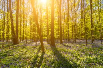 Beautiful sunset light behind beech trees with bluebells- Stock Photo or Stock Video of rcfotostock | RC-Photo-Stock