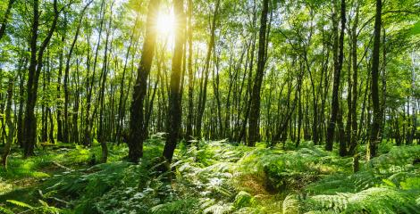 beech forest with sunlight Shining through Natural Forest of Beech Trees- Stock Photo or Stock Video of rcfotostock | RC-Photo-Stock