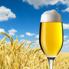 Beer tulip in a wheat field- Stock Photo or Stock Video of rcfotostock | RC-Photo-Stock