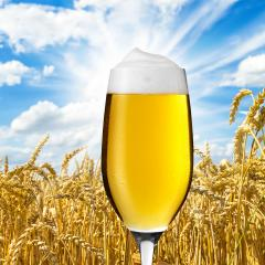 Beer tulip with dew in a cornfield- Stock Photo or Stock Video of rcfotostock | RC-Photo-Stock