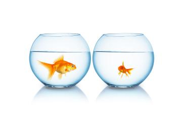 big and small goldfish in a fishbowl : Stock Photo or Stock Video Download rcfotostock photos, images and assets rcfotostock | RC-Photo-Stock.: