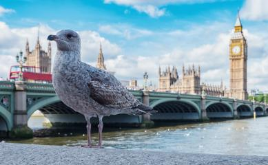 Big Ben, Westminster Bridge with gull on River Thames in London, the UK. : Stock Photo or Stock Video Download rcfotostock photos, images and assets rcfotostock | RC-Photo-Stock.: