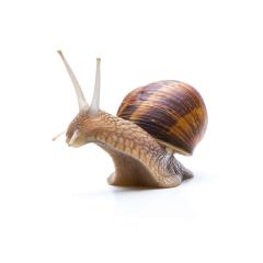 big brown garden snail : Stock Photo or Stock Video Download rcfotostock photos, images and assets rcfotostock | RC-Photo-Stock.: