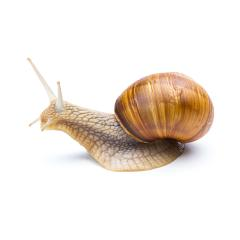 big brown snail- Stock Photo or Stock Video of rcfotostock | RC-Photo-Stock