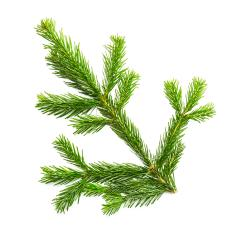 Big fir branche- Stock Photo or Stock Video of rcfotostock | RC-Photo-Stock