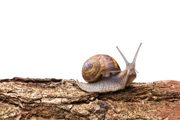 Big garden snail on a tree trunk : Stock Photo or Stock Video Download rcfotostock photos, images and assets rcfotostock | RC-Photo-Stock.: